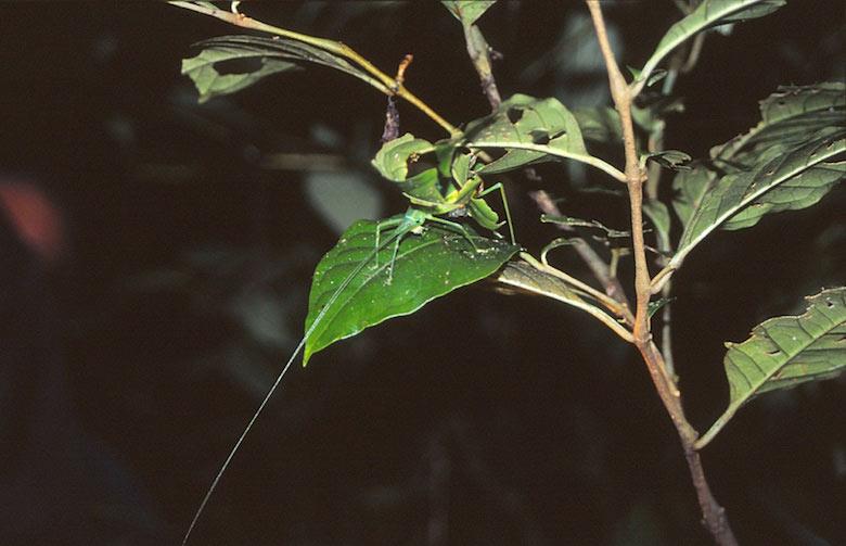 Insekt im Urwald von Costa Rica