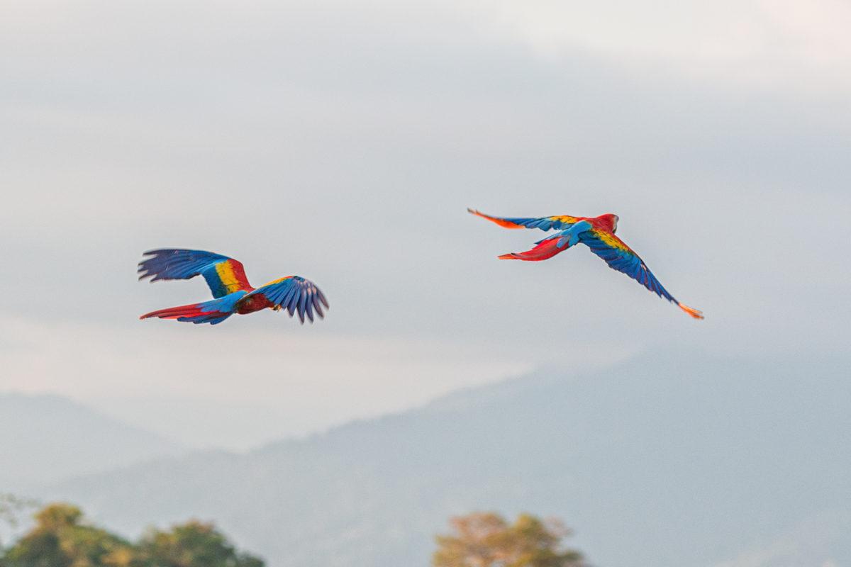 Rote Ara-Macaw, Manuel Antonio Nationalpark