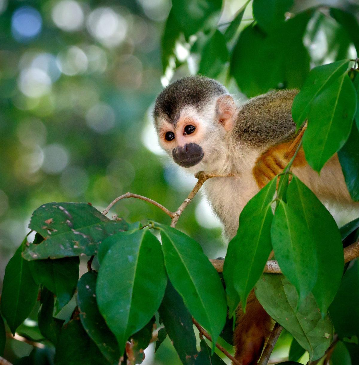 Titi-Affe, Manuel Antonio Nationalpark