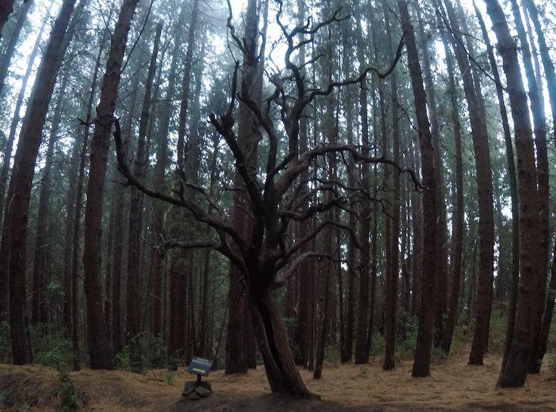 Der verhexte Baum im Prusia Park