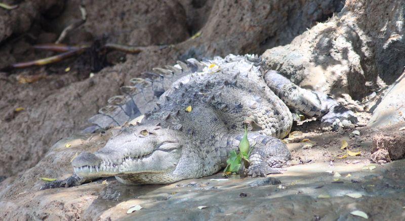 Krokodil in Costa Rica
