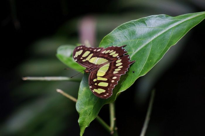 Schmetterling Costa Rica